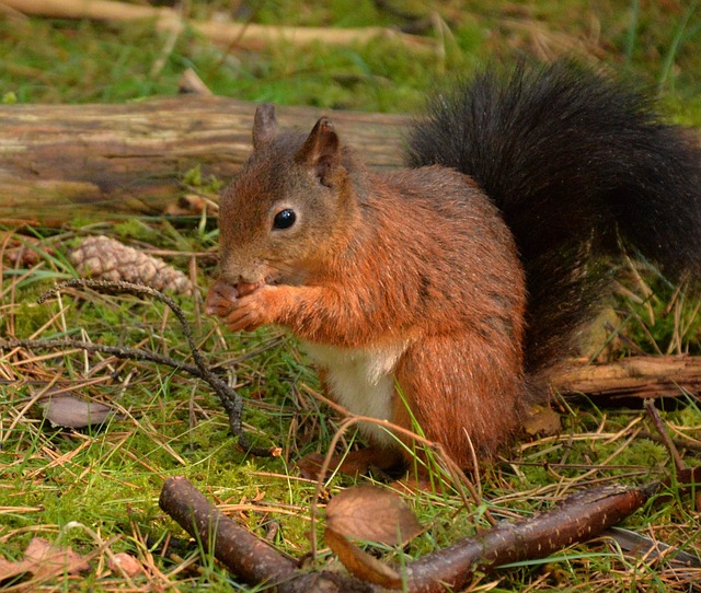 a red squirrel standing on grass, surrounded by sticks, leaves and pinecones eating nuts
