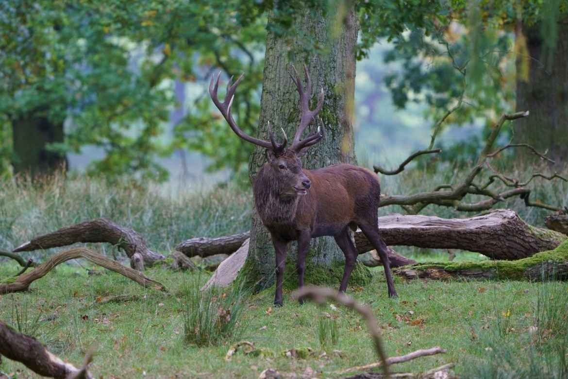 A male deer with large antlers captured in woodland at Tatton Park, Cheshire